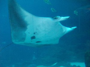 Manta Ray, Georgia Aquarium, Atlanta, July 9, 2013