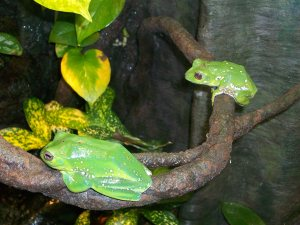 Tropical Green Tree Frogs, Georgia Aquarium, Atlanta, July 9, 2013