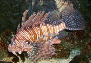 Lionfish, Georgia Aquarium, Atlanta, July 9, 2013