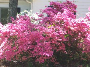 Pink Azaleas, Snellville, Georgia, April 17, 2014