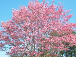 Pink Dogwood, Snellville, Georgia, April 17, 2014